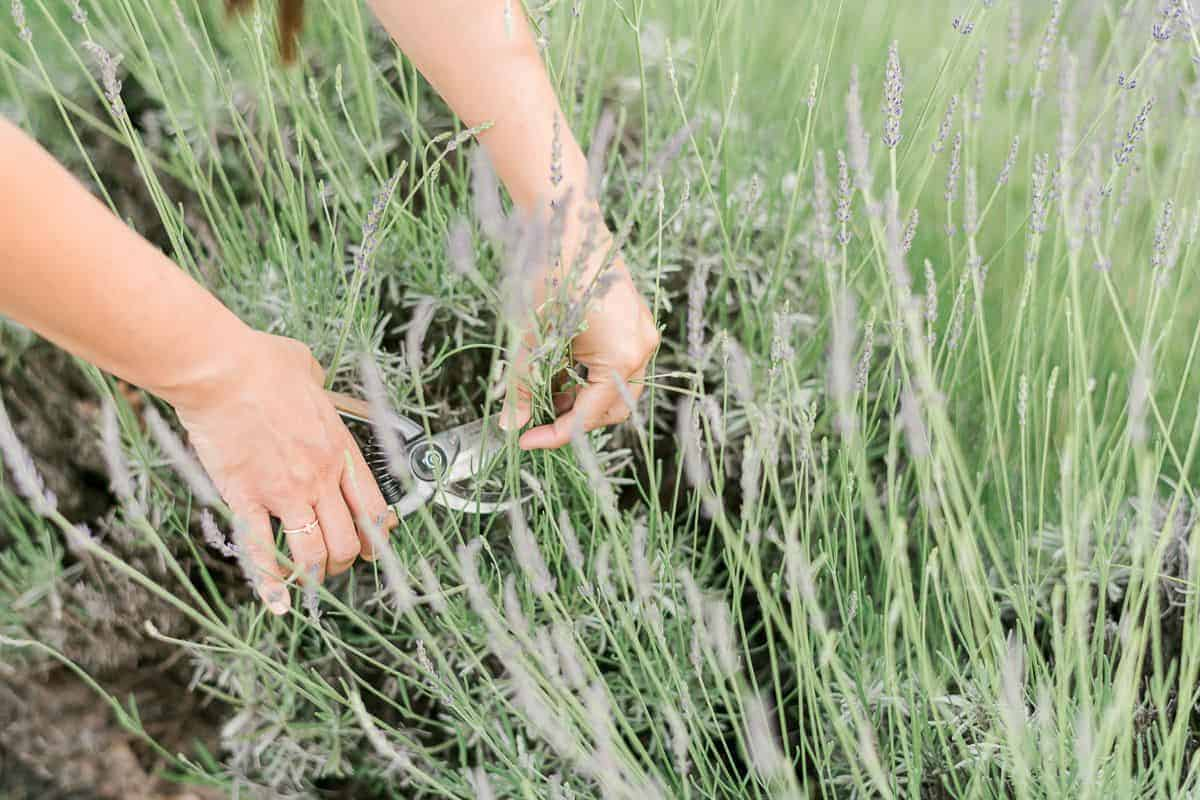 Hands cutting from a bush of English lavender (also called lavandula angustifolia)