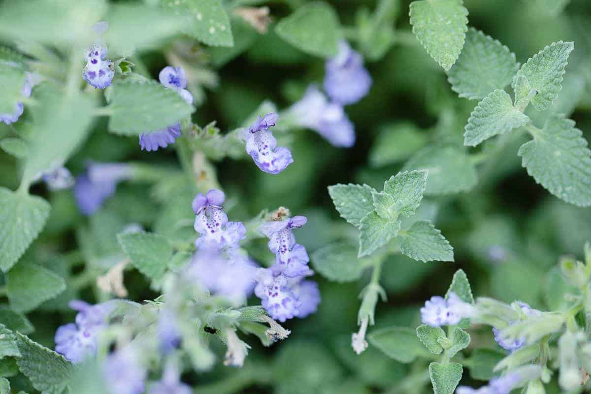 A close up of the soft lavender blue blooms of catmint (nepeta faassenii)