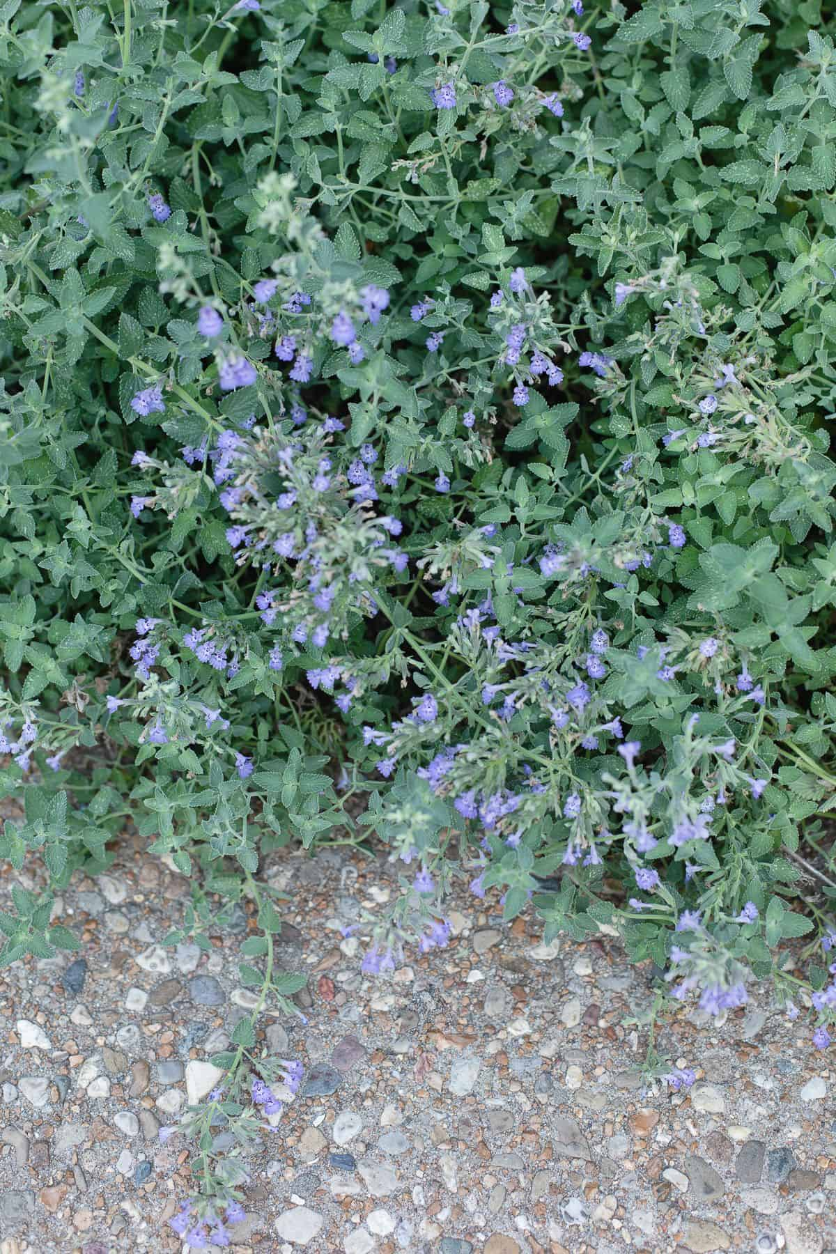 A bush of catmint next to a pebbled sidewalk.