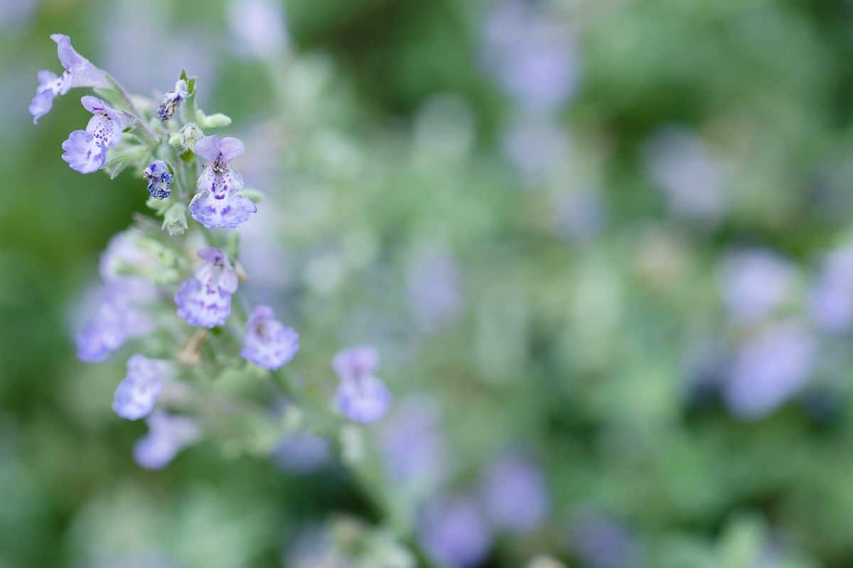 A stem of cat mint with soft lavender blue blooms.