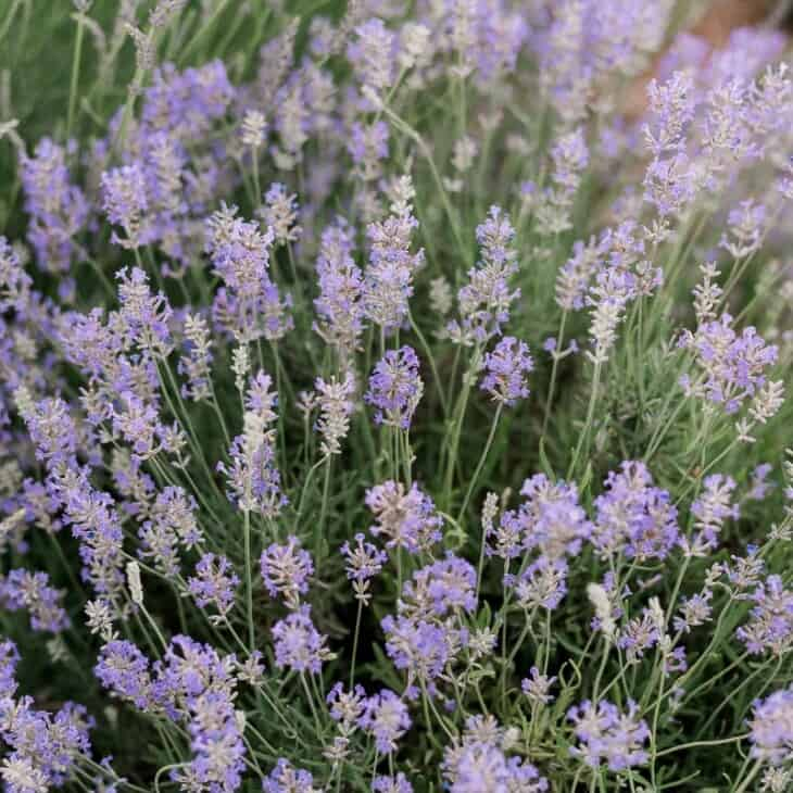 A bush of English lavender (also called lavandula angustifolia)
