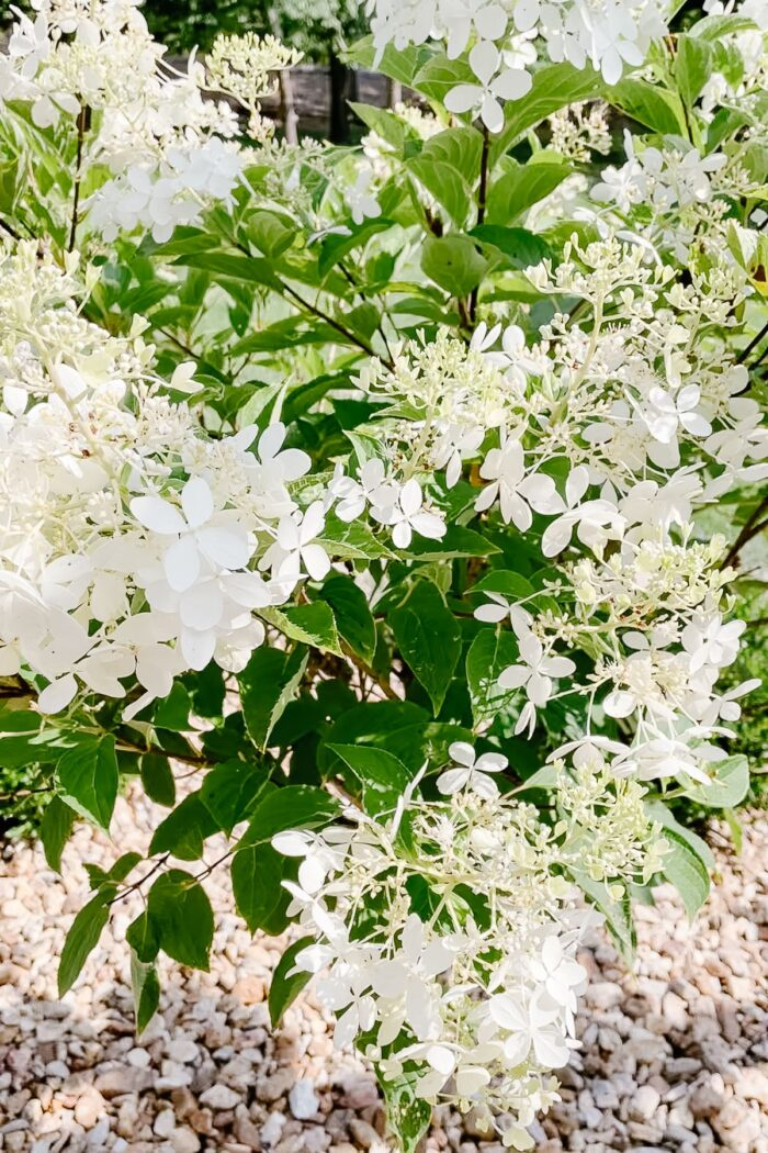 A close up of a limelight hydrangea tree.