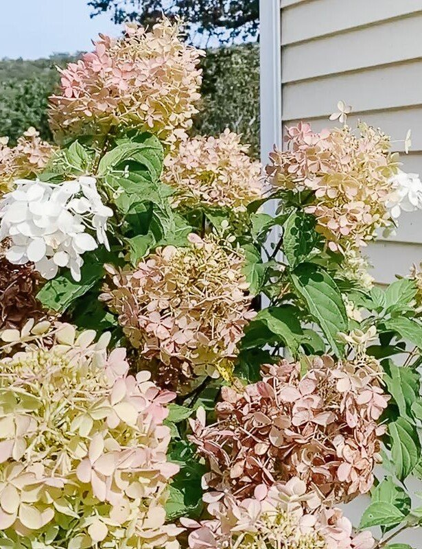 The blooms of a limelight hydrangea tree at various stages of ddevelopment, a home in the background.